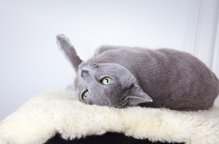 The eight best cats for people with allergies | Pets